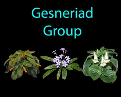 Gesneriad Group