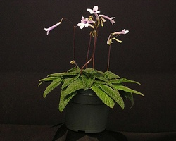 Streptocarpus 'Heartland's Baby Kisses'