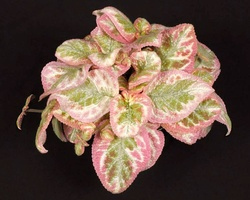 Episcia 'Unpredictable Valley'
