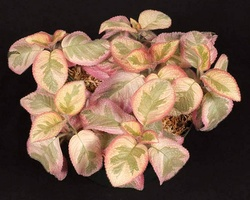 Episcia 'Pink Dreams'